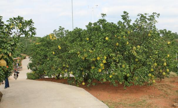 走进容县柚子果园,感受丰收场景图片
